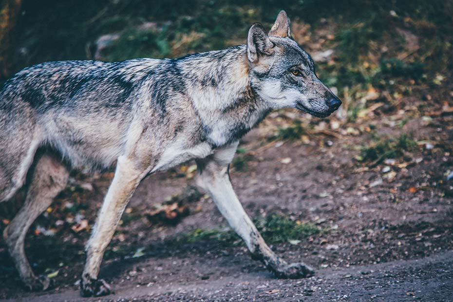 Wolf Fleischfresser | veganpaws